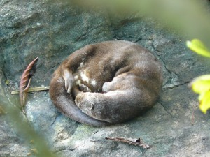 Janice Reed-Otters-sleeping