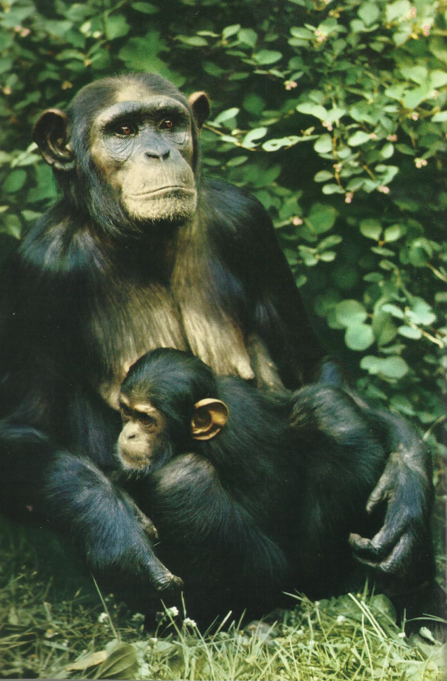 rUBONDO VINATE CHIMPS IMAGE 3